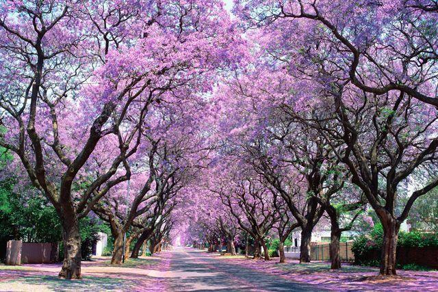 Phố Church, Pretoria, Nam Phi: Phượng tím được coi như biểu tượng của thành phố ở Nam Phi. Những năm gần đây, chính quyền thành phố cấm trồng cây mới vì loài cây này hút rất nhiều nước. Tuy nhiên, hai hàng cây già bên đường vẫn nhuộm cả con phố với màu tím vô cùng lãng mạn.