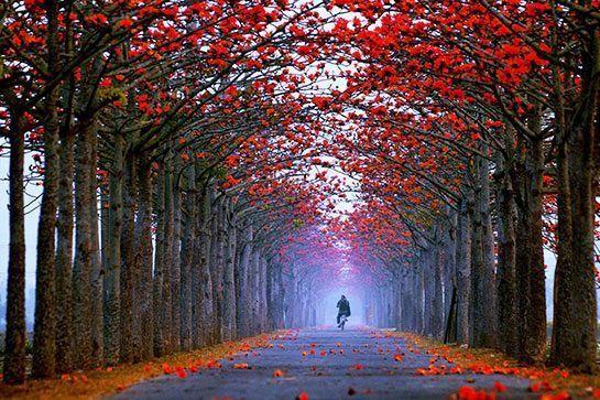 Đường Lin Chu Pi Kapok, Tainan, Đài Loan: Vào tháng 3 hằng năm, những cây gạo hai bên đường lại nở những bông hoa đỏ rực như thắp lửa, thu hút rất nhiều du khách đến chụp ảnh và ngắm chim chóc.