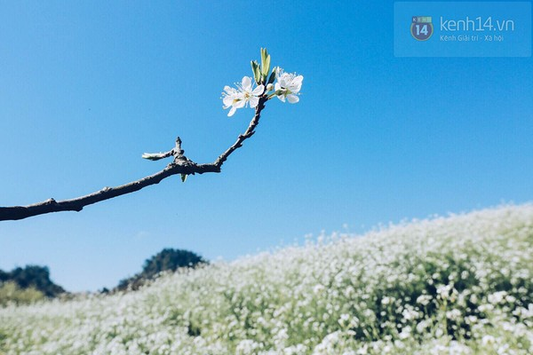 """""""Thiên đường hoa"""" Mộc Châu những ngày cận Tết đẹp đến mê mẩn 1"""
