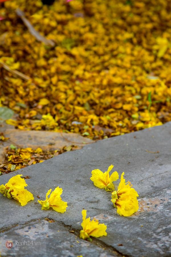 Sài Gòn đẹp rực rỡ những cánh hoa điệp vàng trái mùa 4