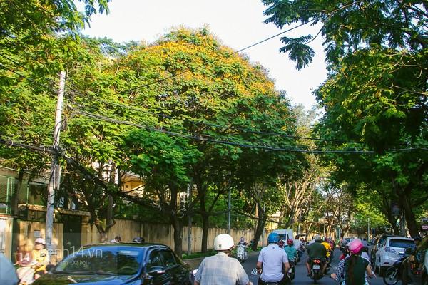 Sài Gòn đẹp rực rỡ những cánh hoa điệp vàng trái mùa 9