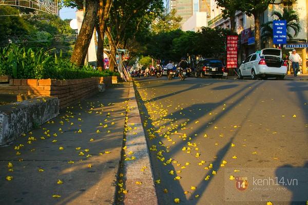 Sài Gòn đẹp rực rỡ những cánh hoa điệp vàng trái mùa 16