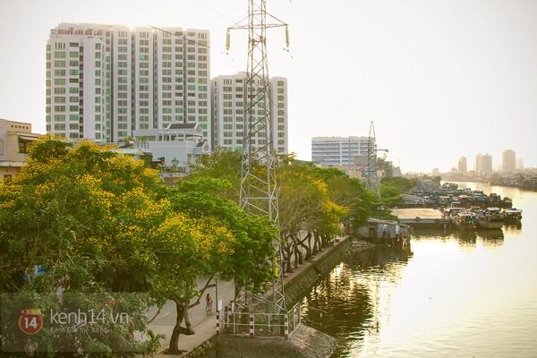 Sài Gòn đẹp rực rỡ những cánh hoa điệp vàng trái mùa 18