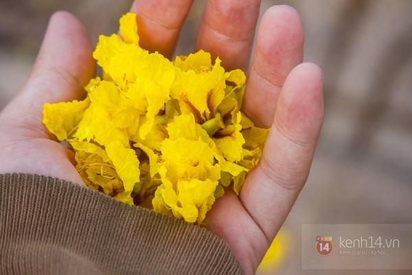 Sài Gòn đẹp rực rỡ những cánh hoa điệp vàng trái mùa 5