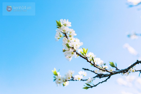"""""""Thiên đường hoa"""" Mộc Châu những ngày cận Tết đẹp đến mê mẩn 7"""