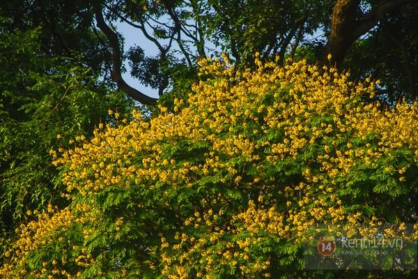 Sài Gòn đẹp rực rỡ những cánh hoa điệp vàng trái mùa 13