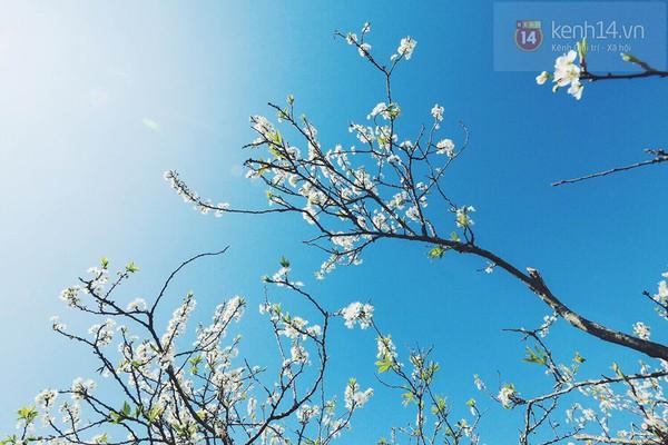 """""""Thiên đường hoa"""" Mộc Châu những ngày cận Tết đẹp đến mê mẩn 11"""
