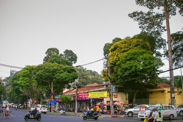 Sài Gòn đẹp rực rỡ những cánh hoa điệp vàng trái mùa 2