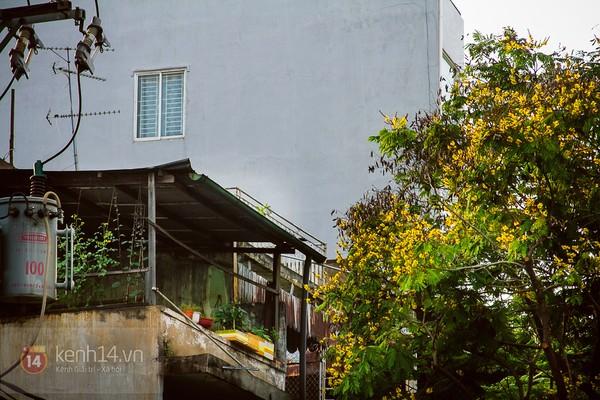 Sài Gòn đẹp rực rỡ những cánh hoa điệp vàng trái mùa 8