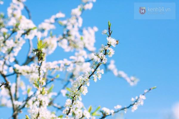 """""""Thiên đường hoa"""" Mộc Châu những ngày cận Tết đẹp đến mê mẩn 8"""