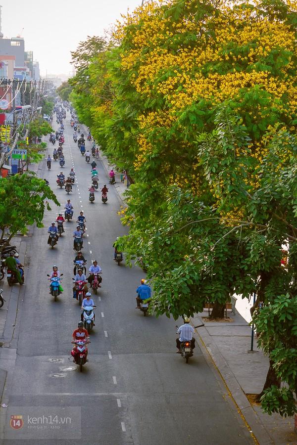 Sài Gòn đẹp rực rỡ những cánh hoa điệp vàng trái mùa 19