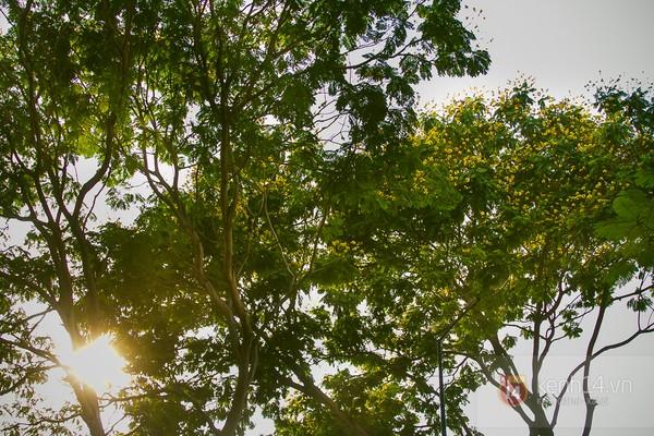 Sài Gòn đẹp rực rỡ những cánh hoa điệp vàng trái mùa 7