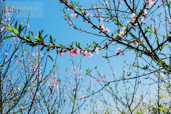 """""""Thiên đường hoa"""" Mộc Châu những ngày cận Tết đẹp đến mê mẩn 17"""