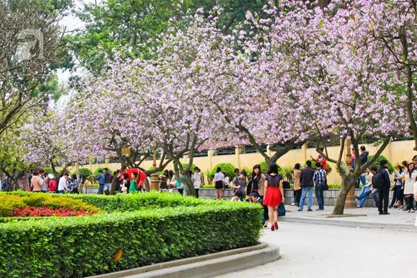 Hoa ban nở rộ đẹp nao lòng, giới trẻ Hà Thành nô nức chụp hình 2