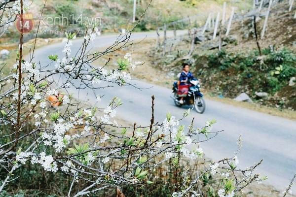 """""""Thiên đường hoa"""" Mộc Châu những ngày cận Tết đẹp đến mê mẩn 6"""