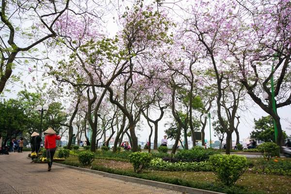 Hoa ban nở rộ đẹp nao lòng, giới trẻ Hà Thành nô nức chụp hình 11