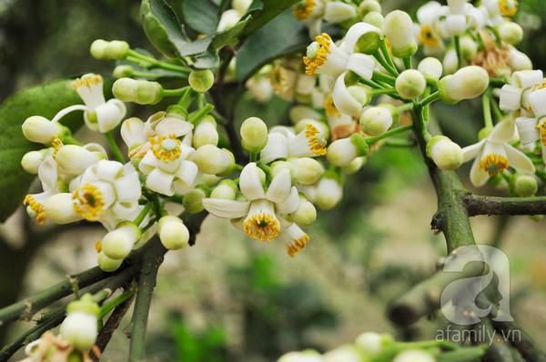 Hà Nội dịu dàng hương hoa bưởi tháng 3 1