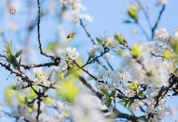 """""""Thiên đường hoa"""" Mộc Châu những ngày cận Tết đẹp đến mê mẩn 10"""