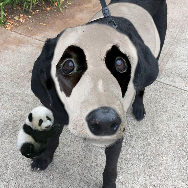 Xem loạt ảnh chế của chú chó này mới thấy sinh ra có đôi mắt gấu trúc cũng là cái tội - Ảnh 6.