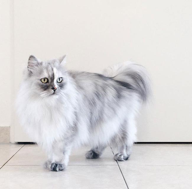 Có em mèo lông xù xinh thế này, chắc cả ngày ngồi ôm cũng không chán - Ảnh 3.