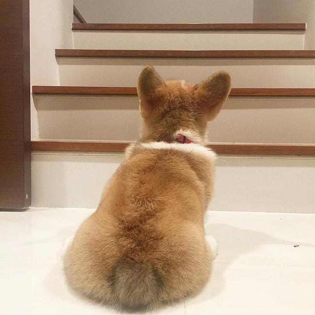Siêu đáng yêu: Em cún Corgi mặt ngố, chân ngắn và cuộc chiến không cân sức với cái cầu thang - Ảnh 13.