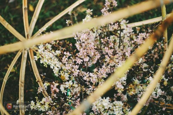 Những ngày này, chẳng cần sang Nhật, bạn vẫn có thể ngắm hoa anh đào giữa lòng Hà Nội - Ảnh 9.