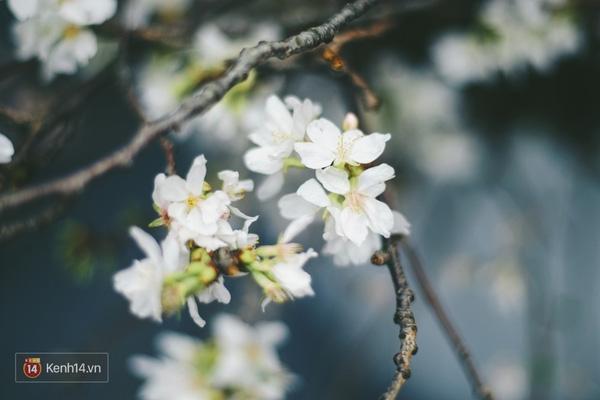 Những ngày này, chẳng cần sang Nhật, bạn vẫn có thể ngắm hoa anh đào giữa lòng Hà Nội - Ảnh 7.