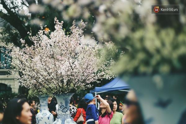 Những ngày này, chẳng cần sang Nhật, bạn vẫn có thể ngắm hoa anh đào giữa lòng Hà Nội - Ảnh 4.
