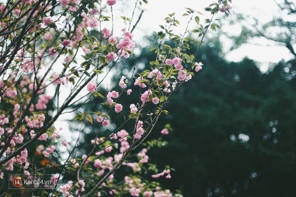 Những ngày này, chẳng cần sang Nhật, bạn vẫn có thể ngắm hoa anh đào giữa lòng Hà Nội - Ảnh 17.