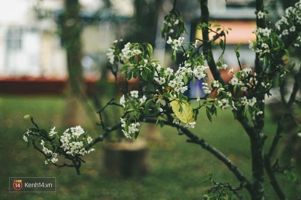 Những ngày này, chẳng cần sang Nhật, bạn vẫn có thể ngắm hoa anh đào giữa lòng Hà Nội - Ảnh 10.