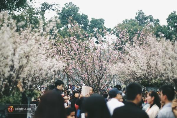 Những ngày này, chẳng cần sang Nhật, bạn vẫn có thể ngắm hoa anh đào giữa lòng Hà Nội - Ảnh 2.