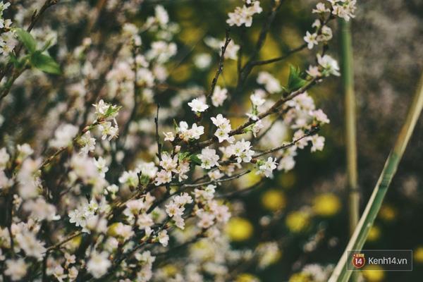 Những ngày này, chẳng cần sang Nhật, bạn vẫn có thể ngắm hoa anh đào giữa lòng Hà Nội - Ảnh 6.