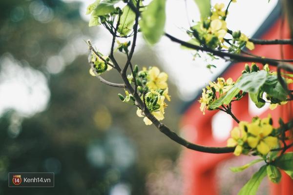 Những ngày này, chẳng cần sang Nhật, bạn vẫn có thể ngắm hoa anh đào giữa lòng Hà Nội - Ảnh 11.