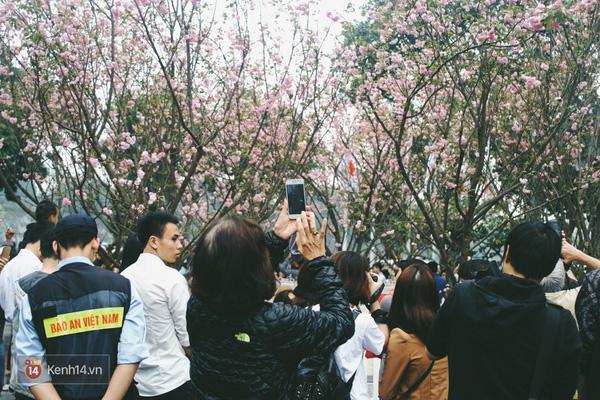Những ngày này, chẳng cần sang Nhật, bạn vẫn có thể ngắm hoa anh đào giữa lòng Hà Nội - Ảnh 1.