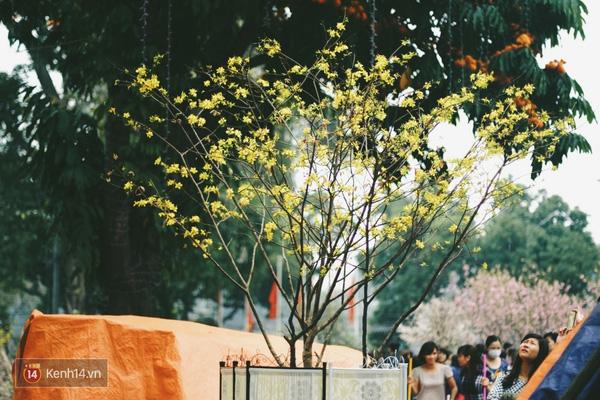 Những ngày này, chẳng cần sang Nhật, bạn vẫn có thể ngắm hoa anh đào giữa lòng Hà Nội - Ảnh 13.
