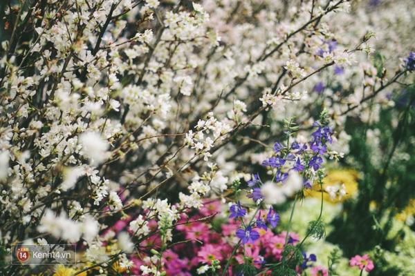 Những ngày này, chẳng cần sang Nhật, bạn vẫn có thể ngắm hoa anh đào giữa lòng Hà Nội - Ảnh 16.