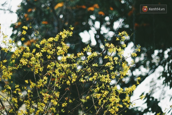Những ngày này, chẳng cần sang Nhật, bạn vẫn có thể ngắm hoa anh đào giữa lòng Hà Nội - Ảnh 12.