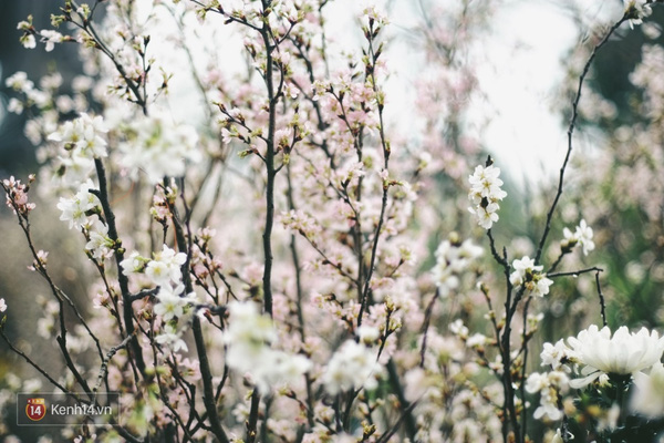 Những ngày này, chẳng cần sang Nhật, bạn vẫn có thể ngắm hoa anh đào giữa lòng Hà Nội - Ảnh 15.