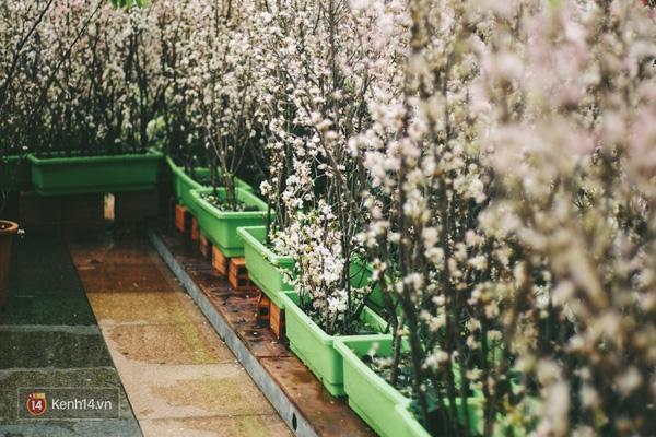 Những ngày này, chẳng cần sang Nhật, bạn vẫn có thể ngắm hoa anh đào giữa lòng Hà Nội - Ảnh 5.