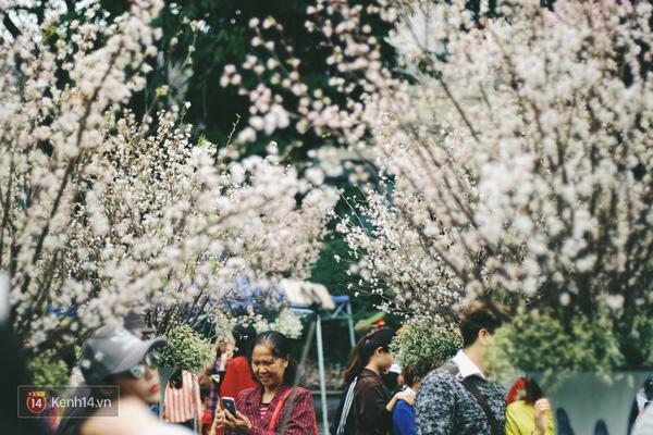 Những ngày này, chẳng cần sang Nhật, bạn vẫn có thể ngắm hoa anh đào giữa lòng Hà Nội - Ảnh 3.