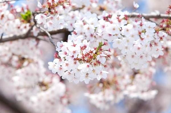 Quang cảnh tuyệt đẹp ở các địa điểm ngắm hoa anh đào tại Hàn Quốc 4