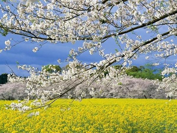 Quang cảnh tuyệt đẹp ở các địa điểm ngắm hoa anh đào tại Hàn Quốc 14