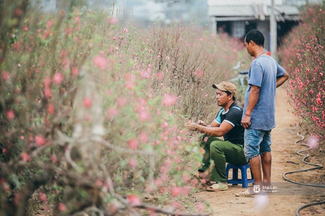 Ly, đào bung nở sớm trước Tết - Người trồng hoa ở Hà Nội điêu đứng, lo phải bán đất để trả nợ ngân hàng - Ảnh 12.