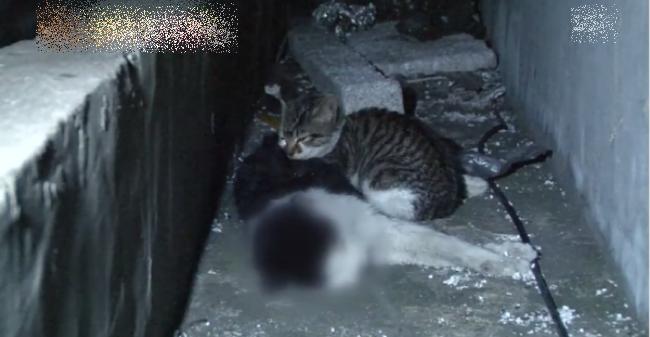 Rơi nước mắt cảnh mèo con chỉ ăn sỏi đá để mang thịt về cho mẹ đã chết