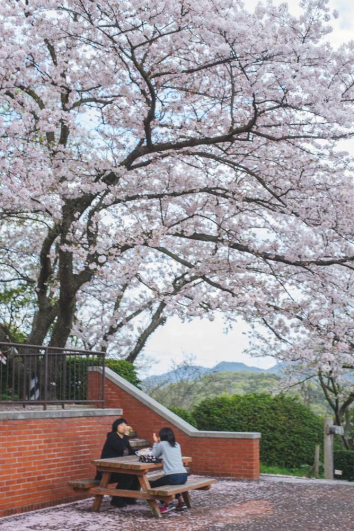 Ra đây mà xem người ta kéo nhau sang Nhật ngắm hoa anh đào hết rồi!
