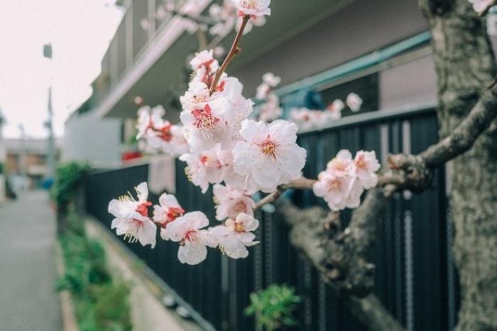 Ra đây mà xem người ta kéo nhau sang Nhật ngắm hoa anh đào hết rồi! - Ảnh 1.