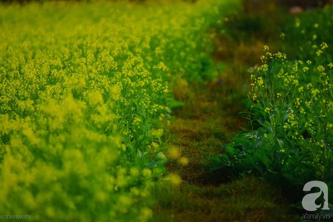 Cúc hoạ mi vừa tàn, Hà Nội đã kịp vào vụ hoa cải vàng đẹp mê mẩn