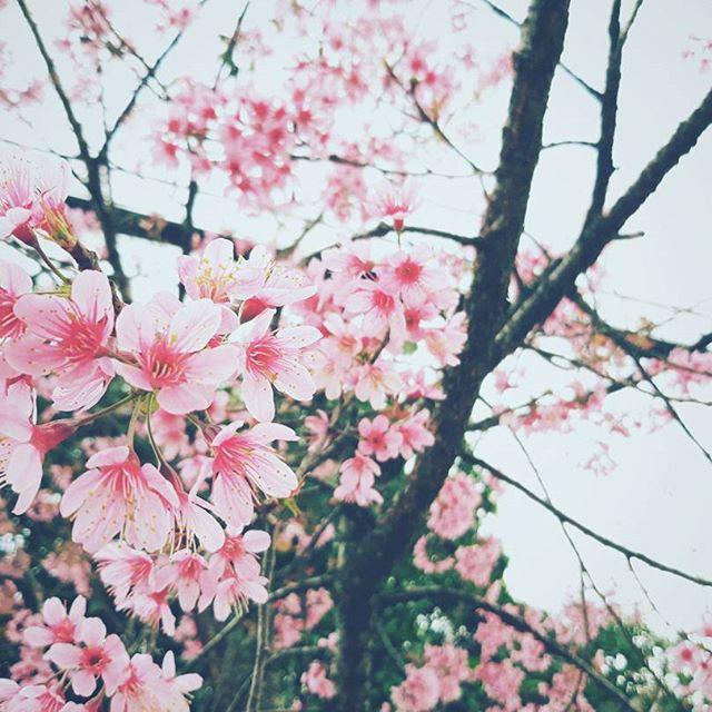 Lại phải đi Đà Lạt thôi vì hoa mai anh đào đã nhuộm hồng thành phố rồi!