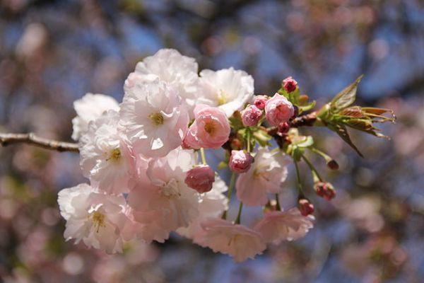 Nếu tưởng Sakura - hoa anh đào Nhật Bản chỉ có một loại thì bạn đã nhầm to rồi - Ảnh 7.