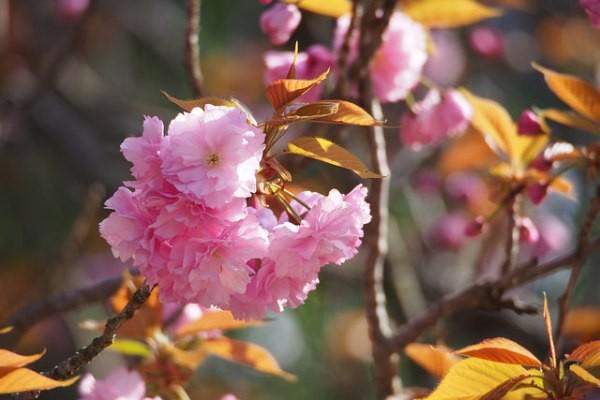 Nếu tưởng Sakura - hoa anh đào Nhật Bản chỉ có một loại thì bạn đã nhầm to rồi - Ảnh 10.